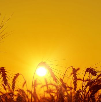 16948060 - golden sunset over harvest field in summer