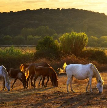 10987653 - white and brown horses pasturing in the countryside at sunset